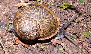 Snail: Cornu aspersum שבלול: חילזון הגינה