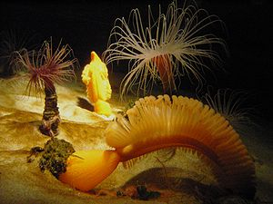 Orange sea pen (Ptilosarcus gurneyi) at Monter...