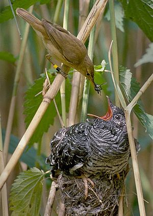 Reed Warbler feeding a Common Cuckoo chick in ...