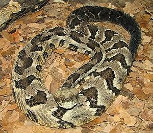 Timber Rattlesnake - Crotalus horridus