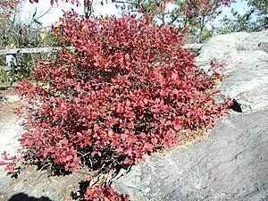 Wild Blueberry (Vaccinium) in autumn foliage t...