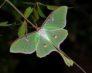 English: Luna moth (Actias luna), Florida.