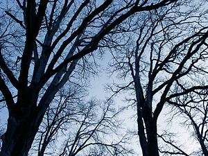 English: Bare Trees. Portland, Oregon.
