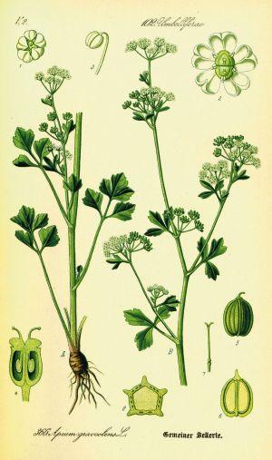 Celery  Wikipedia