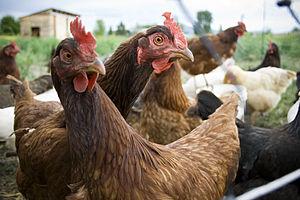 Hens in Missoula, Montana