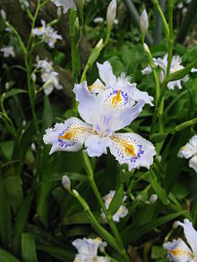 Iris Japonica Wikipedia