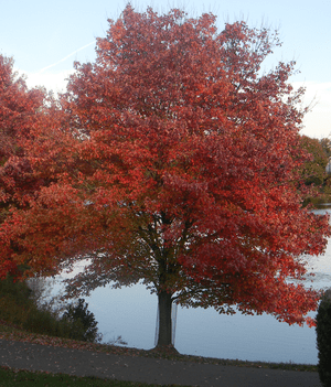 English: Red Maple showing fall foliage