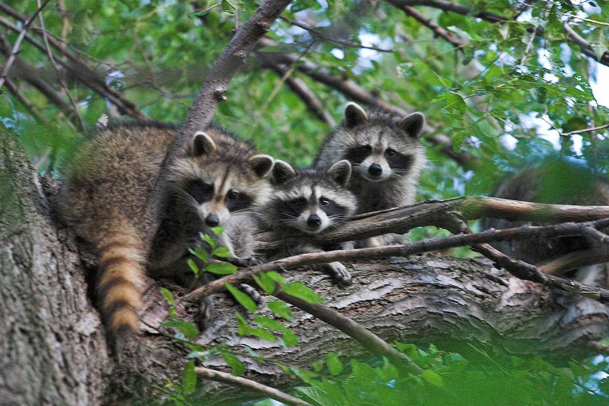 Can Raccoons Really Get Gout From Dry Cat Food