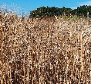 Durum Wheat crop