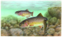 Drawing of two trout swimming