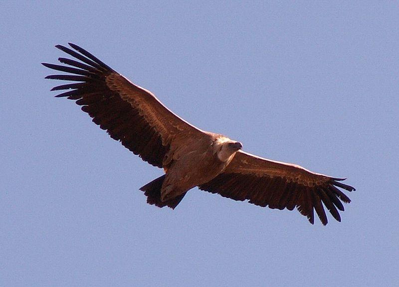 File:Vulture 19o05.jpg