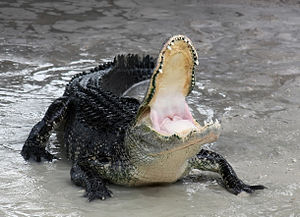 A captive American alligator in a defensive po...