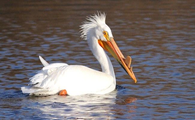 File American White Pelican Breeding In Green Bay Wi