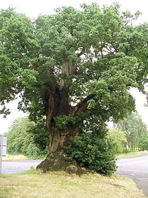 English: Photo taken by me of the Baginton Oak...