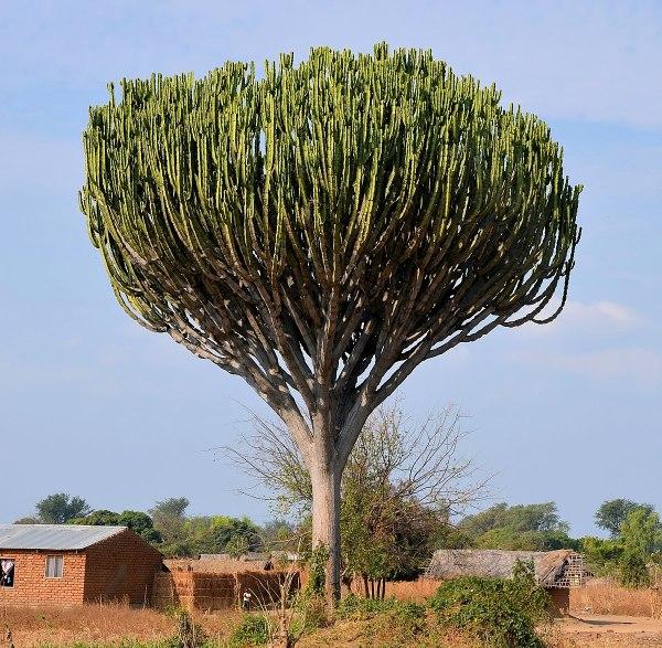 Euphorbia Candelabra Tree