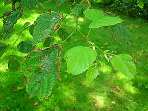 English: Lime Tree (Tilia sps) showing new gro...