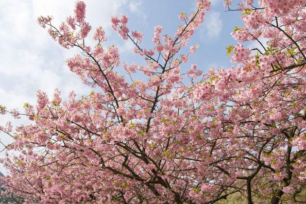 https://i0.wp.com/upload.wikimedia.org/wikipedia/commons/thumb/5/5e/Prunus_lannesiana_cv._Kawazu-zakura_05.jpg/1920px-Prunus_lannesiana_cv._Kawazu-zakura_05.jpg?w=630&ssl=1