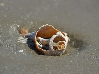 File:Shells in sand on oceans beach.jpg