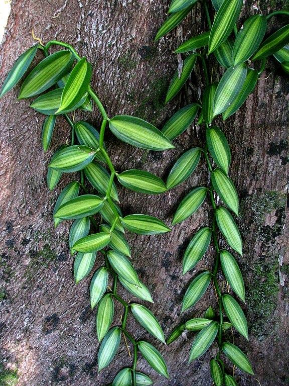 FileVanilla Planifolia Variegata 5288801445jpg