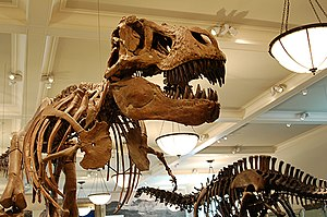 English: Mounted skeletons of Tyrannosaurus re...