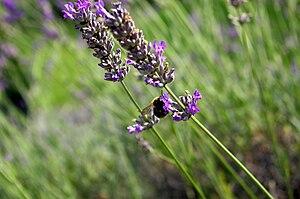 A bumblebee on Lavandula (Lavender)