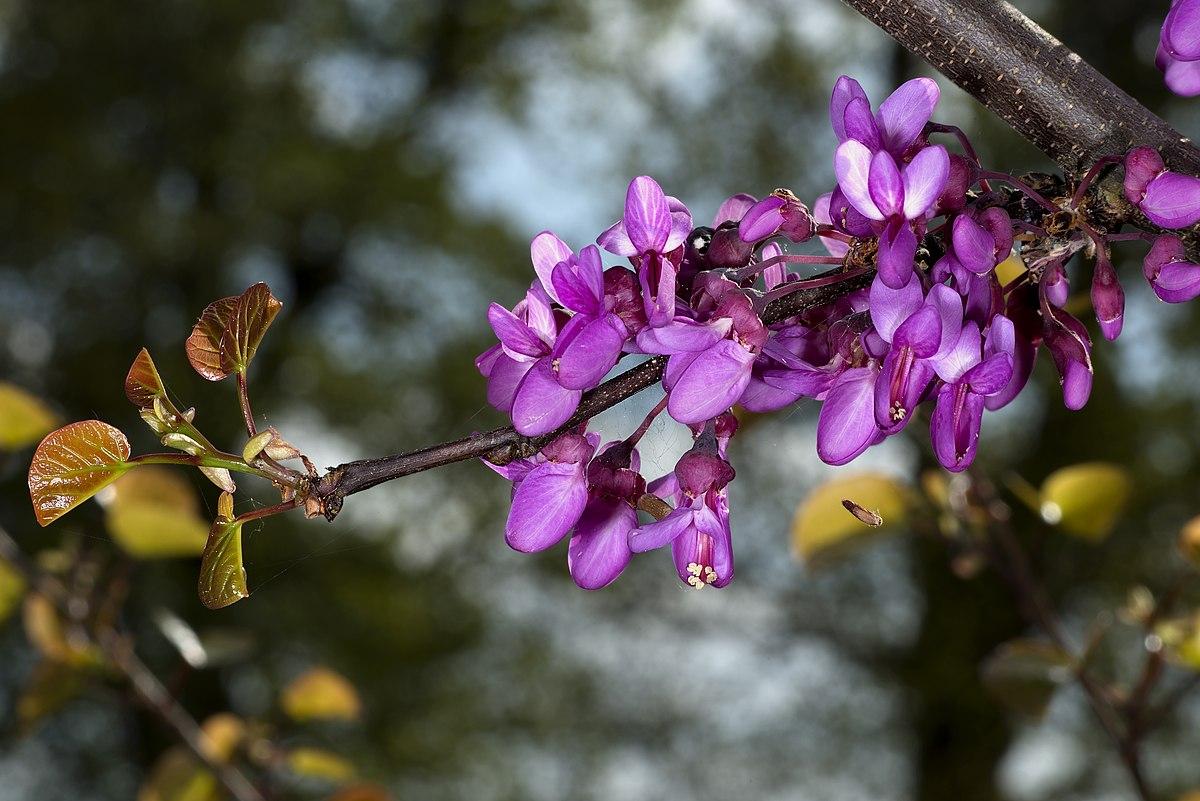 Cercis siliquastrum  Wikispecies
