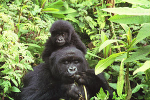 The mountain gorilla is Rwanda's leading touri...