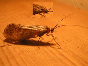Some species of Caddisfly (Halesus cf. tessela...