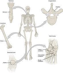 pivot joint diagram 2005 chevy equinox ac wiring قائمة مصطلحات تشريح العظام (طب) - ويكيبيديا، الموسوعة الحرة