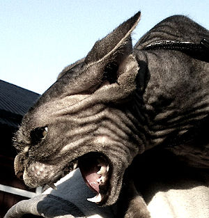 Angry Sphynx