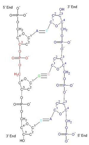 DNA Biochemical structure