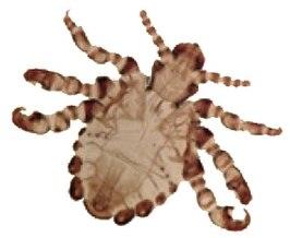 Pthirus  Wikipedia