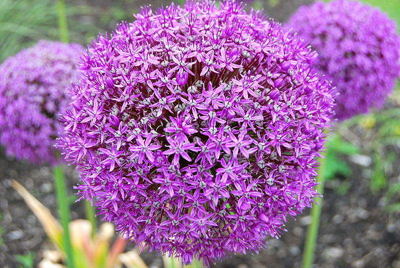 Purple Ball Flower (Allium giganteum) by wadester16 on Wikimedia Commons