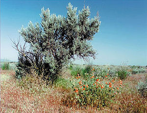 Sagebrush and grasses are the dominant vegetation