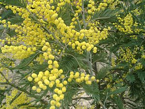The mimosa (technically, the Silver Wattle) is...