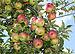 English: Apples on an apple-tree. Ukraine. Рус...