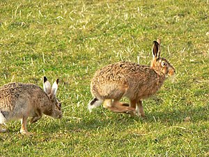 English: Brown hares These are two of a group ...
