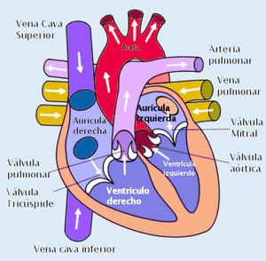 Heart showing the blood flow