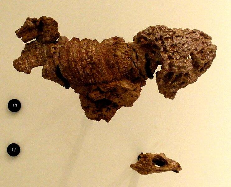 File:Dissorophus multicinctus.JPG