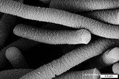 Dog Mouth Diagram Lactobacillus Acidophilus Wikipedia