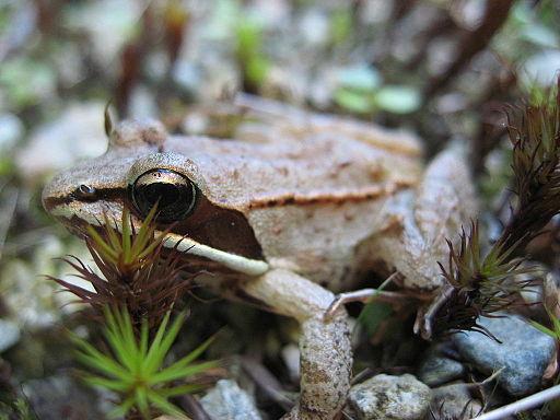 Lithobates sylvaticus (wood frog)