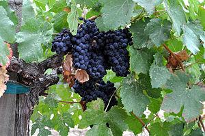 English: Napa_Valley_grapes_Photo_D_Ramey_Loga...