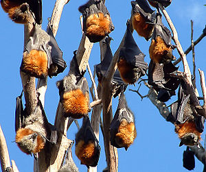 English: Roosting Grey-headed flying-foxes