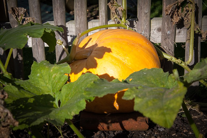 File:Pumpkin in the Walled Garden (8096949347).jpg