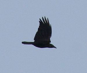 Corvus corone in flight