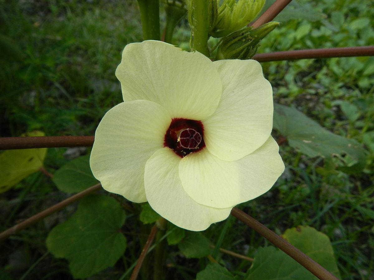 Okra Blossom