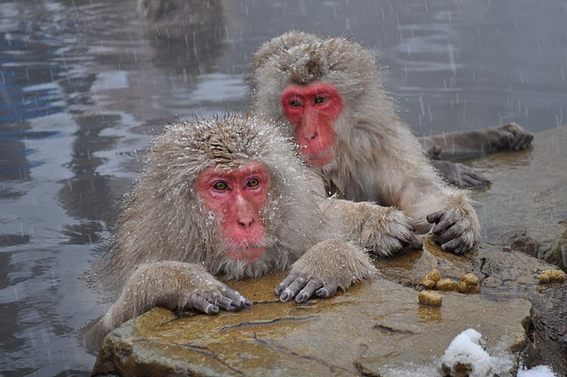 Japanese Macaques, Nagano, Japan. By Yblieb