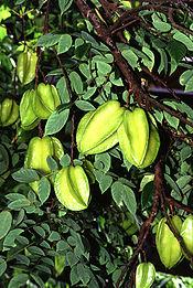 Carambolas still on the tree