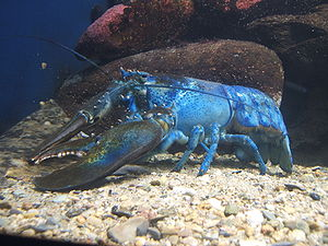 The blue lobster is an example of a mutant.