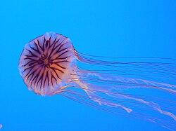 Chrysaora hysoscella from Enoshima Aquarium.jpg